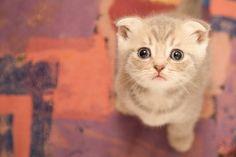 Psikolojik olarak, hayvan yüzünü insan  yüzü ile kıyasladığımız için, yani bu resimdeki kediciğin, 2 gözü, 2 kulağı, 1 burnu ve 1 ağzı olduğu için, bize bu kadar sevimli ve şapşal göründüğünü, biliyor muydunuz? :)