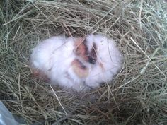 Needle Felt Guinea Pig Lifesized by PuppyduckMakes on Etsy