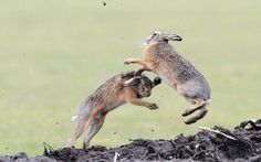 These images show a brutal boxing match between two brown hares. Traditionally a sign spring is on its way, the female hare fights off the mating urges of the males by standing on their hind legs and 'boxing' with their front paws. British wildlife photographer Richard Peters captured the ferocious battle in action while visiting the Island of Texel in the province of North Holland.