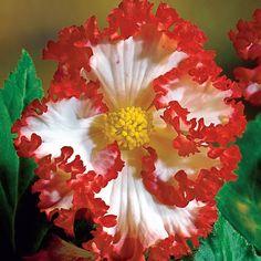 White-Red Crispa Marginata Begonia