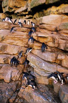 Rockhopper penguins climbing cliff, (Eudyptes chrysocome), Falkland Islands