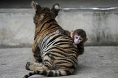 A baby rhesus monkey made friends with a tiger cub (3 pics)