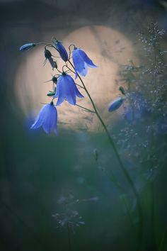Discover and share the world's best photos / Blue Bell Flowers, White Flowers, Flower Pictures, Cool Pictures, Photo Bokeh, What's My Favorite Color, Beautiful Flowers Wallpapers, Blue Garden, Belleza Natural
