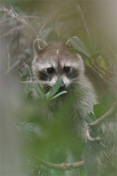 Raccoon, National Wildlife Refuge,  Sanibel Island, Florida.  Photo: SNOWFactory.com via flickr