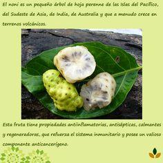 Conoces que es el Noni #CacaoBene ye invita a conocer más de esta maravillosa fruta en http://www.cacaobene.com.ve/2014/11/el-noni.html