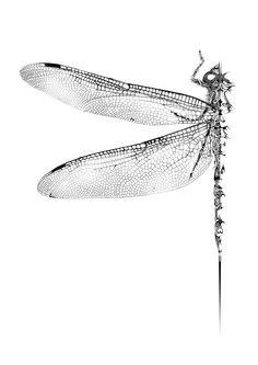 Lacy black & white dragonfly illustration by Si Scott of B&A