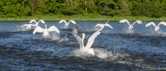 Swans on the Slaney by David Morrissey