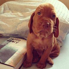 Hungarian Vizsla dog puppy <3