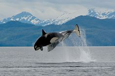 Orcas breaching in Kenai Fjords, Alaska. Whale watching tours are available in Seward just two short hours from Anchorage, Alaska.