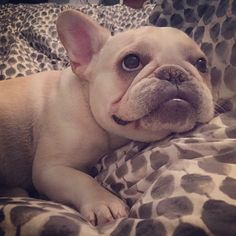 Make this face when you want all the treats, guys. #Ruthie #frenchie #frenchbulldog #buhi #bully #bouledogue #bulldogfrances #instadog #instafrenchie #squishyfacecrew #fancy_frenchies #instapet #thedf...