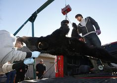 Forensic scientist Nicole Chinnici inspects a bear as hunters bring their bears in to be checked on the first day of bear season at Whittingham Wildlife Management Area in Fredon. 12/7/15 (Ed Murray   NJ Advance Media for NJ.com)