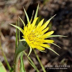 The always elegant Yellow Salsify (Tragopogon dubius), blossoms in the morning, and closes at noon. It is also known by the name, johnny-go-to-bed-at-noon, so funny! #wildflowers #Idaho #nature #earth #land #outdoors #adventurer