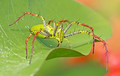 Malagasy green lynx spider (Peucetia madagascariensis), family Oxyopidae, Madagascar