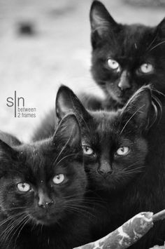 sisters by SiNframes Gallery on 500px These cats are so beautiful. Thejavawitch