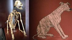 Henry VIII's flagship Mary Rose sank in 1545! The skeleton of a dog was found near the sliding door to the carpenter's cabin. Museum staff have named the mongrel Hatch. He was a young, healthy male, aged between 18 months and two years when he died. Hatch looked like a cross between a terrier and a whippet and was probably used to catch rats onboard. Superstitious Tudor seafarers did not have cats on board ship as they were thought to bring bad luck.