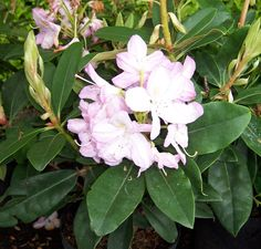 Rhododendron Gomer Waterer This is a lovely, spreading evergreen variety with distinctively thick, deep green leaves. It bears masses of light pink flowers which emerge from delicate, pink flower buds, fading to white with age. These are produced in dense clusters and provide a very commanding floral display between May and June, with a golden flare in the upper lobe of each flower.