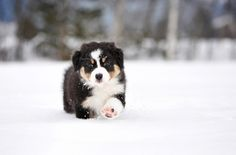 Australian shepherd puppy in the snow. #aussie