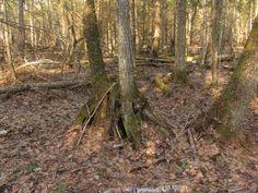 kõdusoo mets