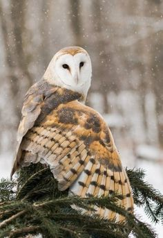 Barn owl by Patricia Toth