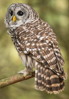 a barred owl poem analysis