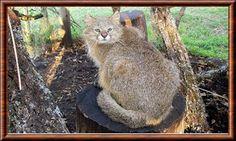 Chat du Pantanal (Leopardus braccatus) Ocorre principalmente no Pantanal, em áreas descampadas, matagais, savanas e florestas decíduas. É tradicionalmente classificado como subespécie do gato-palheiro (Leopardus colocolo), mas de acordo com medidas morfométricas do crânio e padrão de coloração da pelagem foi considerado como uma espécie separada. Esta classificação não é corroborada por estudos genéticos, e alguns autores ainda continuam classificando a espécie dentro de L. colocolo.