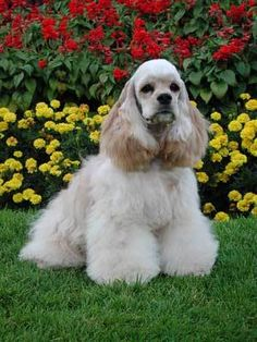 The American Cocker Spaniel is an active, friendly dog with a refined, rounded head, long, lobular ears and a sturdy compact body.