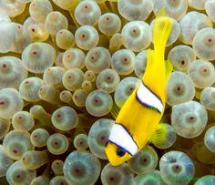 Red Sea Bubble Anenemone and Clown Fish #Nikon #Aquatica #Ikelite #scubadiving www.gabrieldeleonphotography.com Red Sea, Underwater World, Scuba Diving, Egyptian, Nikon, Bubble, Fish, Pets, Color
