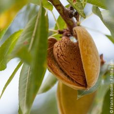 L'amandier peut se planter en pleine terre partout où le climat est doux l'hiver. Quand et comment le planter ?