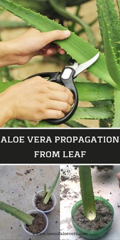 Generally, people ask a question, can they grow aloe vera plant from leaf? Yes, they can, but plantation of aloe vera is trickier, and it is easy to grow. However, it is challenging to grow this plant from a leaf. #aloe #vera #propagation #from #leaf #grow #planting #gardening #BestNutritionFood Succulents Garden, Garden Plants, Indoor Plants, Flower Plants, Propagating Succulents, Roses Garden, Water Plants, Cactus Flower, Potted Plants