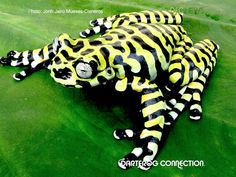 . No, you are not a tiger! You are a very cool frog!