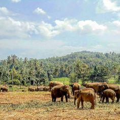 Elephant orphanage at Pinnawela, Sri Lanka. See: www.climatestours.com/negombo-excursions & www.facebook.com/CliMatesTours