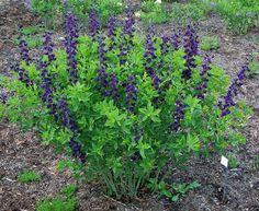 Perennials from Chicagoland Grows : Royal Purple False Indigo