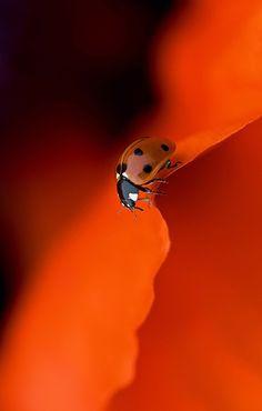 Ladybug ♥ ♥ www.paintingyouwithwords.com by phoebe.