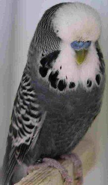 Male Anthracite English budgie~ So beautiful!