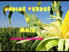 Cultivo de Judias verdes y maíz, asociación precolombina (tuhuertofacil.es)