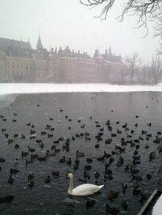 Swan and ducks in Hofvijver lake, The Hague, The Netherlands.