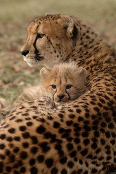 Cheetah Mom ~ With Her Cub. Mama love!