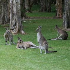 Kangaroos in my parents backyard in Port Macquarie Australia.