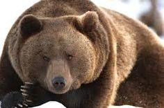 De beer is groot en sterk en kan alles verwoesten als je hem boos maakt.  Boosheid is een kracht die nodig is om door te kunnen zetten in situaties. Terwijl de beer toch enorm veel kan verwoesten wanneer hij boos is, vertrouwt hij tegelijkertijd op dat wat hij doet omdat hij weet dat boosheid soms nodig is. Ook kan de beer een zachtheid geven. Kijk en voel maar eens als hij op je pad mag komen hoe zo een beer de warmte van zachtheid geeft aan zijn troost.
