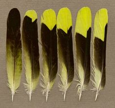 male Eurasian golden oriole feathers