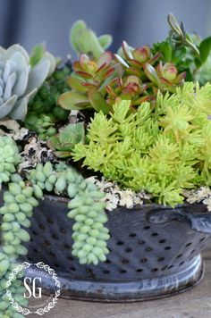 HOW TO PLANT SUCCULENTS-succulents planted in collander -outdoors