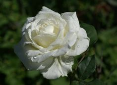 White Rose, my favorite flower. IT means forever and will rest along side of the Callas. White Roses, Red Roses, Unity Ceremony, Flower Meanings, 1 Rose, Deck With Pergola, Calming Colors, Good Luck To You, Language Of Flowers