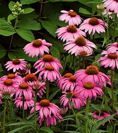Perennial Plants from A to Z for all Your Gardening Planting Needs Offered by - White Flower Farm Utah zone 6