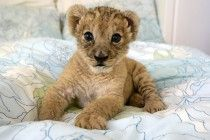 Lion Cute Baby lion White 1080P