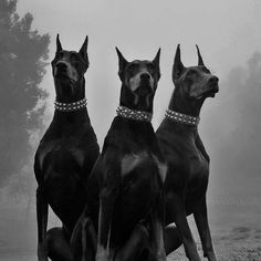 Perro Doberman Pinscher, Doberman Puppies, Rottweiler Dog, Chihuahua Dogs, Black And White Picture Wall, Black And White Pictures, Scary Dogs, Black And White Aesthetic, Aesthetic Dark