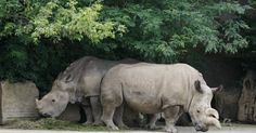 The death of a northern white rhino has left the subspecies on the brink of extinction.