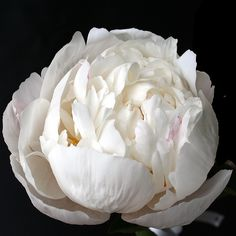 Peony Gardenia- Large, beautifully formed blush white flowers of excellent texture are perfect every year. A splendid show flower and an equally good garden variety. Stems are strong, making this a great cut variety. Very Fragrant!