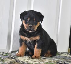 😍✨❄️Cute and ready to be your companion! Mike is a #Rottweiler puppy with a #stockybuild and a #softcoat. His #loyal and #playfulpersonality will make for a #perfectaddition to your family. #Charming #PinterestPuppies #PuppiesOfPinterest #Puppy #Puppies #Pups #Pup #Funloving #Sweet #PuppyLove #Cute #Cuddly #Adorable #ForTheLoveOfADog #MansBestFriend #Animals #Dog #Pet #Pets #ChildrenFriendly #PuppyandChildren #ChildandPuppy #LancasterPuppies www.LancasterPuppies.com Animals Dog, Cute Animals, Rottweiler Puppies For Sale, Lancaster Puppies, Tabletop Rpg, Mans Best Friend, Puppy Love, Doggies, Random Stuff