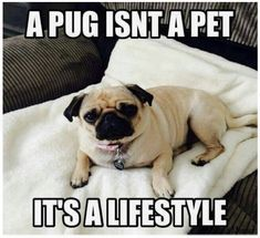 Explore our web site for even more information on Pugs. It is an outstanding place to read more. Art Beagle, Pug Art, Beagle Puppy, Pug Quotes, Old Pug, Pugs And Kisses, Cute Pugs, Funny Pugs, Baby Pugs