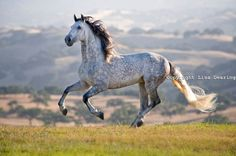 The Andalusian is a pure Spanish horse that originated in the Iberian Peninsula.has been recognized as an individual breed since Cute Horses, Pretty Horses, Horse Love, Beautiful Horses, Animals Beautiful, Horse Photos, Horse Pictures, Andalusian Horse, Friesian Horse
